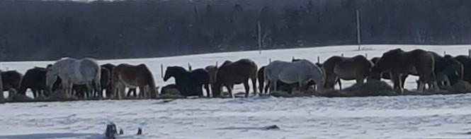 2017-mackinac-horses-jan-2017-2-copy