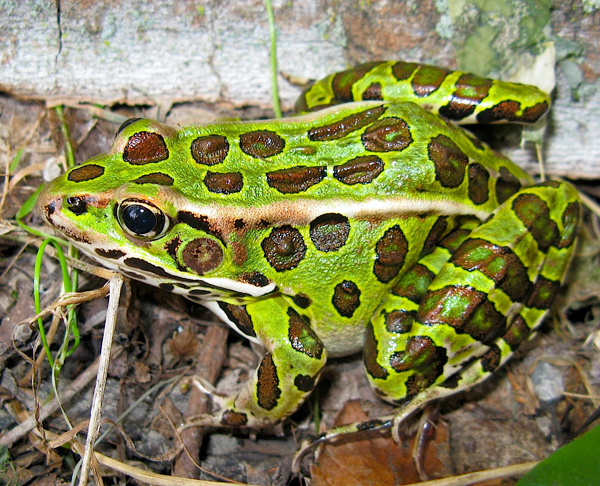 Northern leopard frog eating - photo#42